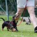 4 elutähtsat baaskäsklust, mis võivad päästa sinu koera elu