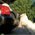 "Käsklusega ""Hopp!""  saab koerale teada anda, et hüpaku pardale! Foto: Aap Odres"