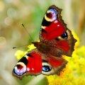 Näed tihti liblikaid? Pane hoolega tähele, see on märk peatsest muutusest sinu elus