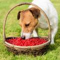 Marjahooaeg täies hoos: kas ja kui palju võivad koerad puuvilju ja marju süüa?