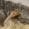 LUGEJATE VIDEOD | Talveunest ärganud karu ning pähkleid näppav orav: kevade saabudes võib linnas kohata metsloomi