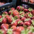 Цены на эстонские ягоды и овощи этим летом могут сильно вырасти