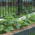 Katteloori all kasvatades saab terve saagi.