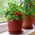 NÕUANDEID | Tomatitaimi saab edukalt kasvatada ka potis