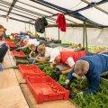 Marjamaa talu peretütar Elke Lillemets juhendas Tere ja Farmi kontoritöötajaid, kes tulid mullu appi maasikaid korjama.