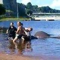 Elevant Med Narva jões