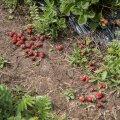 Riknenud maasikad põllul