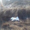 Sel aastal Väikese väina tammilt leitud surnud luiged.