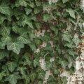 Mööda maapinda roomava või puutüvesid roniva luuderohu lehed meenutavad kujult veidi vahtra lehti.
