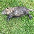 Koduõuele tulnud nutria, kelle koerad maha murdsid.