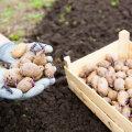 Eelidandatud kartulid