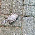 Surnud lind