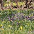 Nii kuldtähtedele kui lõokannustele meeldib varjuline kasvukoht.