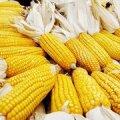 GMO päästaks maailma, kui vaid lastaks