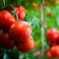 Mida arvavad spetsialistid tomatitaimedele mõeldud kuulsast vene dopingust?