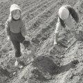 Kartulipanek 80ndad lapsed põllul