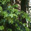 Roomava viigipuu õitsemisealised oksad.
