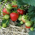 HÜVA NÕU | Kuidas luua hooldusvaba maasikapeenar?