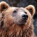 """Правда ли, что поговорка """"первый блин комом"""" связана с медведями?"""