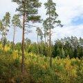 Lendorava kaitseks plaanitakse kaitse alla võtta ka hulk noori metsi