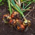 Kui sibulapealsed on enamjaolt kuivanud ja lamandunud, on õige aeg sibulad koristada.