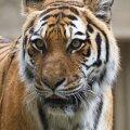 Enim õnnetusi on seotud tiigritega