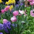 Istutatud lillesibulad peavad jõudma sügisel enne maapinna külmumist korralikult juurduda.