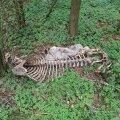 Lamba skelett võsa vahel polnud Leedri ja Lahetaguse külade lähedastel karjamaadel veel tänavu suvelgi mingi haruldus.