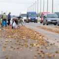FOTOD: Peterburi maanteel on kartuliuputus