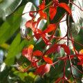 Amherstia (Amherstia nobilis)