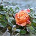 Lumeta talvel on roosid meil enamasti ohus.