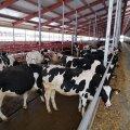 TDFE haldab nii Väätsal kui Kaius koos noorkarjaga umbes 6000 pealist karja, neist lüpsilehmi on üle 3100.