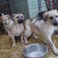 Need koerad on praegu enampakkumisel. Foto: Hendrik Osula