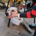 Lahavere küla Oksana talu ketikoeri ründas hunt kaks korda. Pildil olev pääses kergete vigastustega, teisel koeral aga rebis pea otsast.