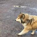Hulkunud koer