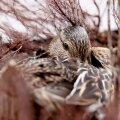 ФОТО | Просьба не беспокоить: в самом центре Таллинна уточка высиживает птенцов