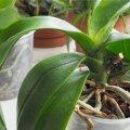 Orhideed ei pea igal aastal ümber istutama.