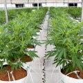 Uus-Meremaa otsustas referendumil marihuaanat mitte seadustada