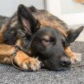Koerad ei taha valu välja näidata
