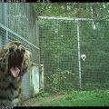 Tallinna loomaaia amuuri leopard Alexei