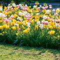 Selleks, et kevadel oleks aias värve, tuleb sügisel sibulad mulda panna.