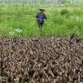 Hiina jõest leiti tuhat surnud parti