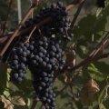 KAAMERAGA MAAL | 280 sorti viinamarju kasvatav 85-aastane Läänemaa mees teeb aiandusajalugu