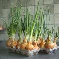 VAHVA NIPP: Rohelist sibulat saab aknalaual kasvatada ka nii