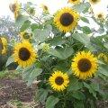Päevalill ja maapirn on kasulikud kasvatada