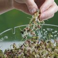 Koos võib idandada ka eri liike. Maitsva ampsu saab näiteks mahedast mungoast ja vürtsikast redisest.