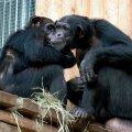Šimpansid loomaaias