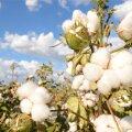 Lähedal olevad puuvillapõllud teevad Lõuna-Californias kanga tootmise odavamaks kui Hiinas.