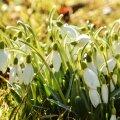 Viljandimaal õitsevad nii lumi- kui märtsikellukesed