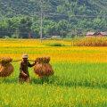 Vietnami kirjeldatakse vahel kui bambuskeppi  kahe riisikausiga.